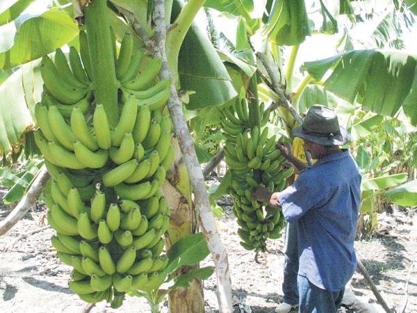 Estiagem prejudica cultivo de banana em cidade do Sertão de PE